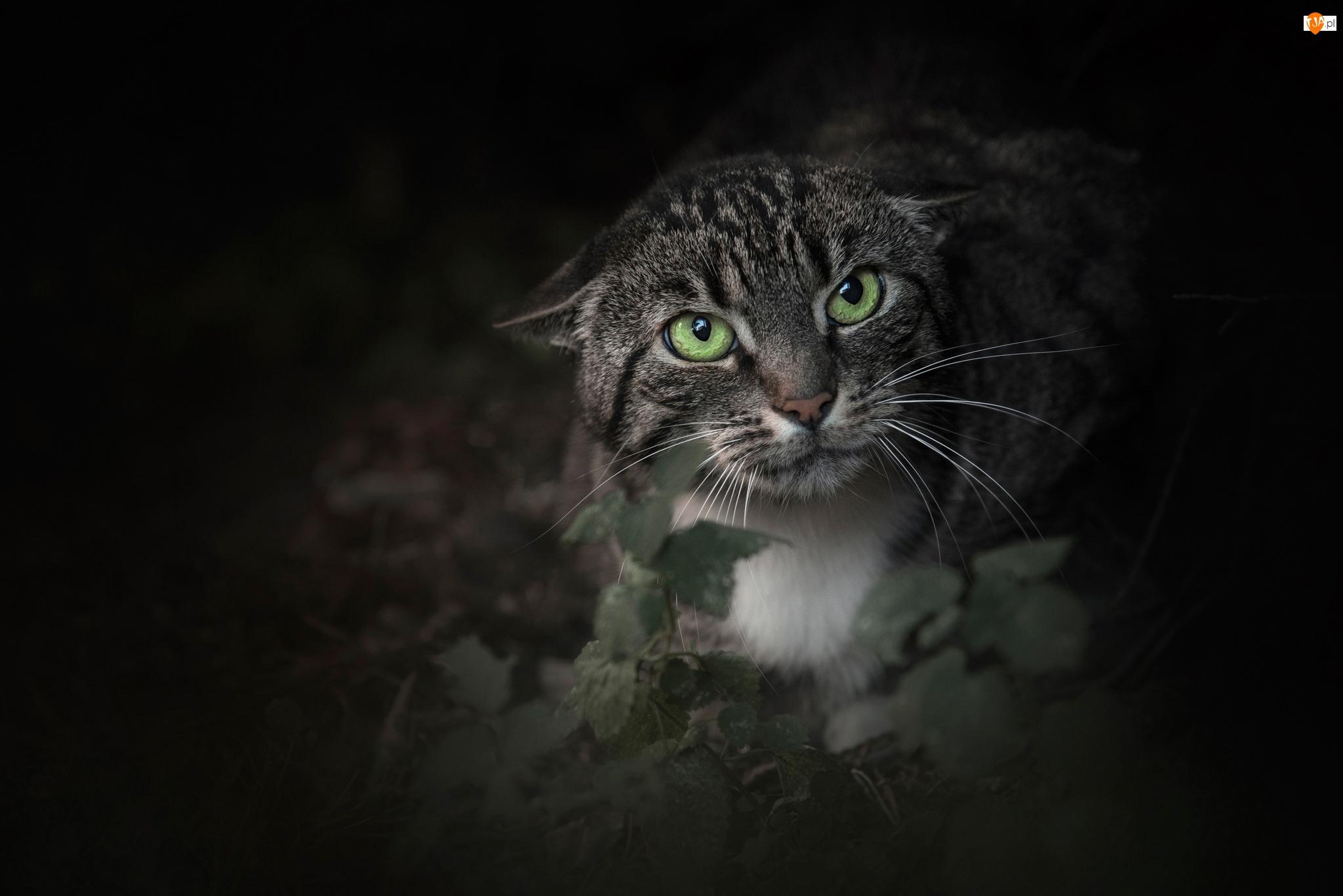 Zły, Złość, Kot, Oczy, Bury, Zielone