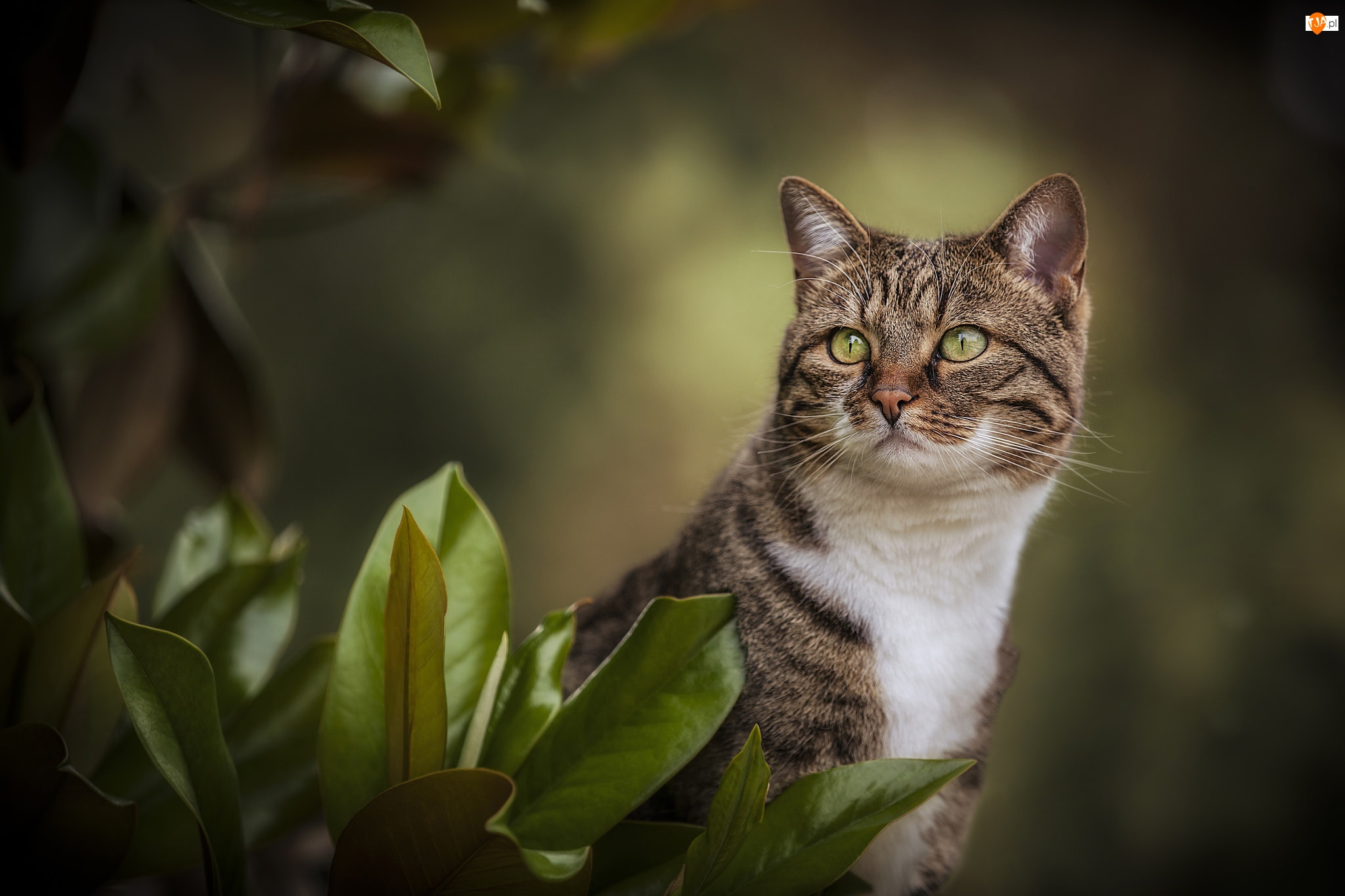 Kot, Szaro-biały, Oczy, Rozmycie, Zielone, Liście
