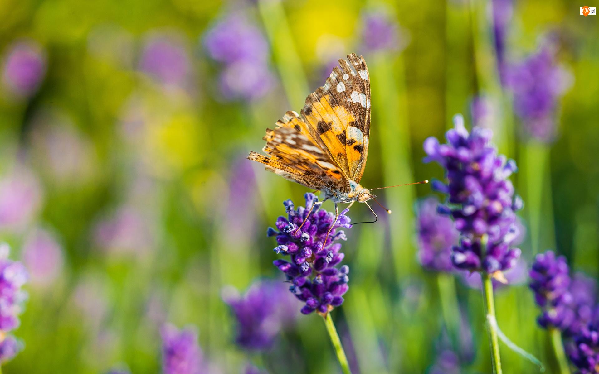 Lawenda, Rusałka pokrzywnik, Kwiat, Fioletowy, Motyl