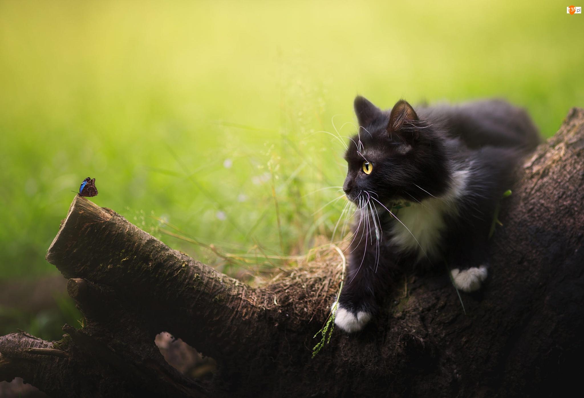 Motyl, Biało-czarny, Kot, Pień