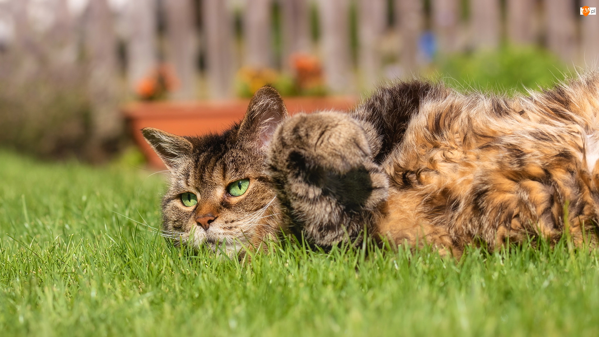 Kot, Leżący, Bury, Zielonooki