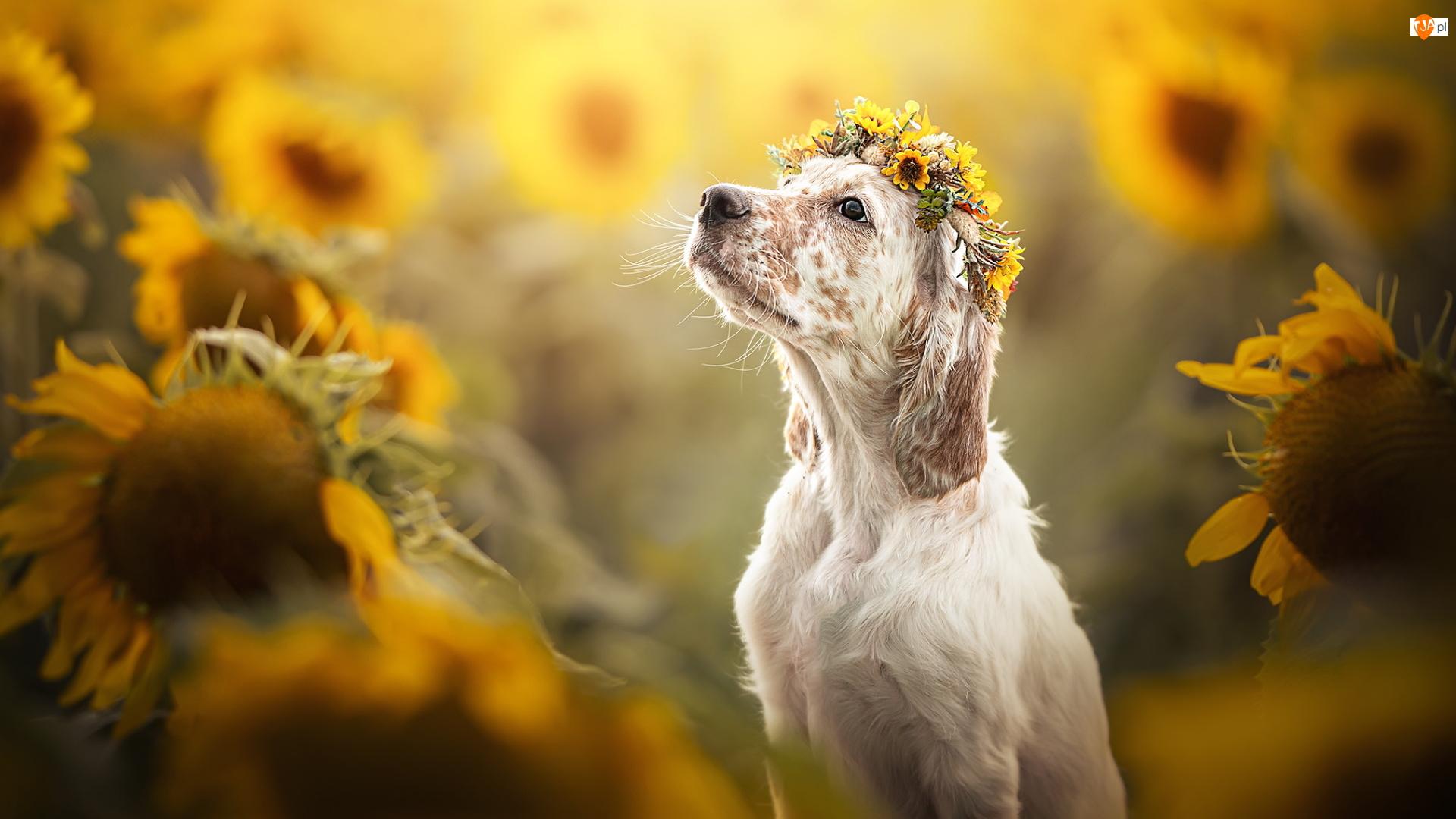 Słoneczniki, Pies, Wianek, Kwiaty