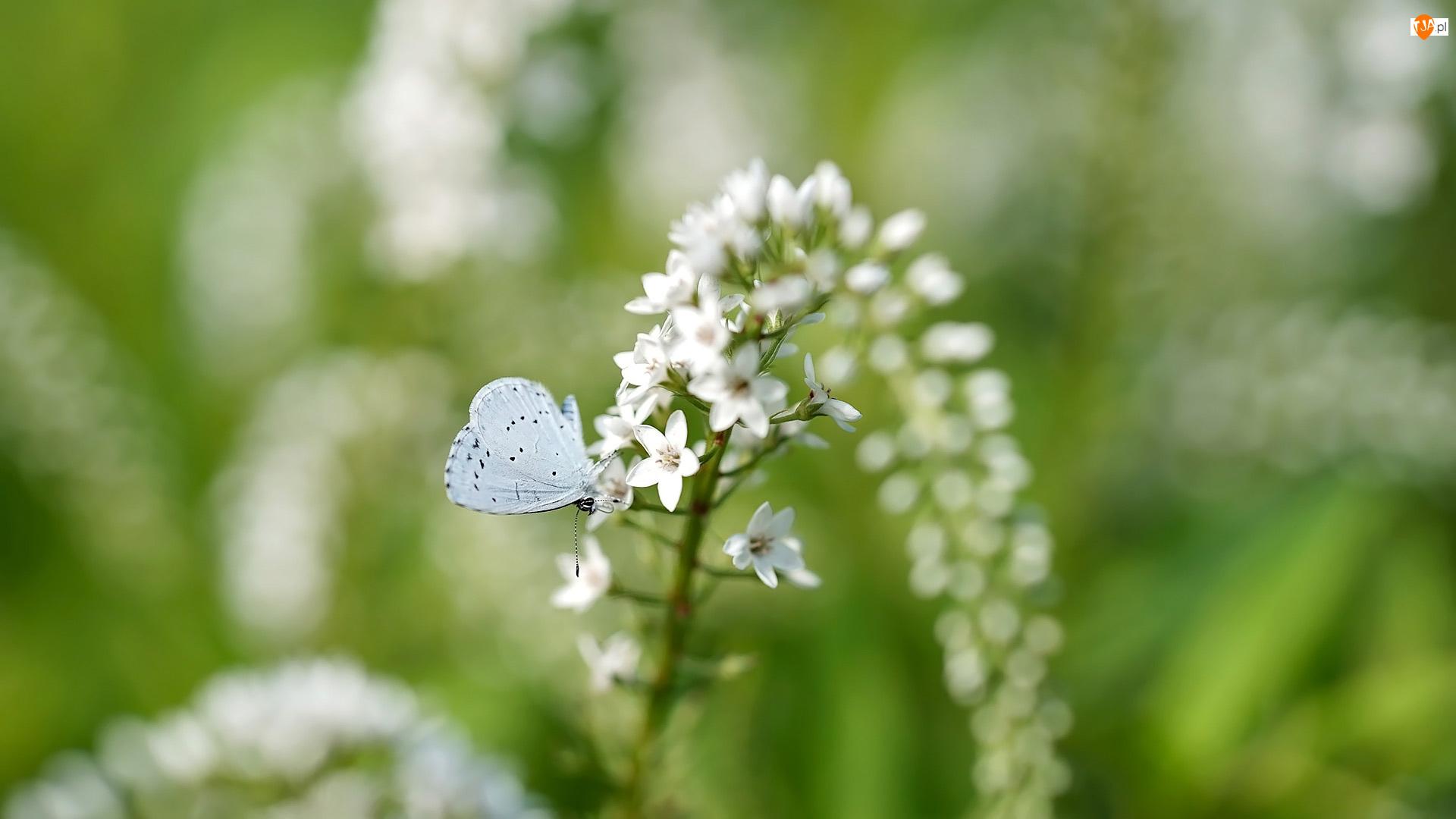 Modraszek wieszczek, Kwiat, Tojeść, Motyl