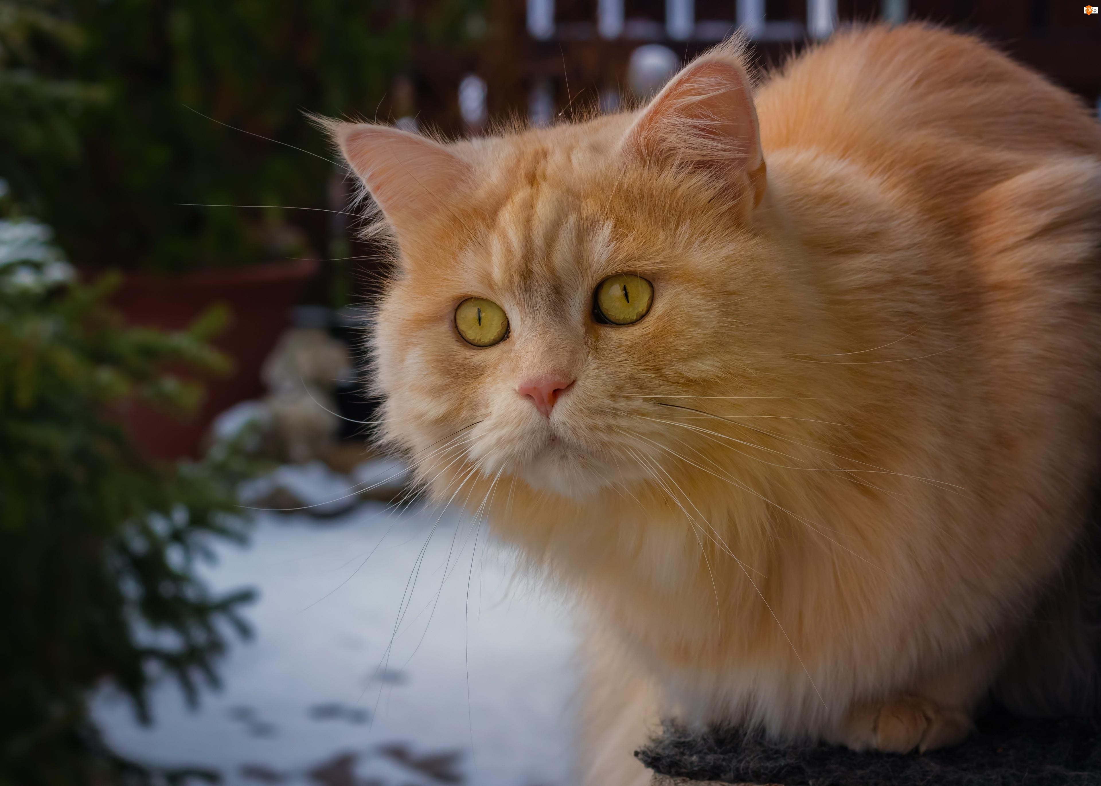 Spojrzenie, Żółtooki, Rudy, Kot