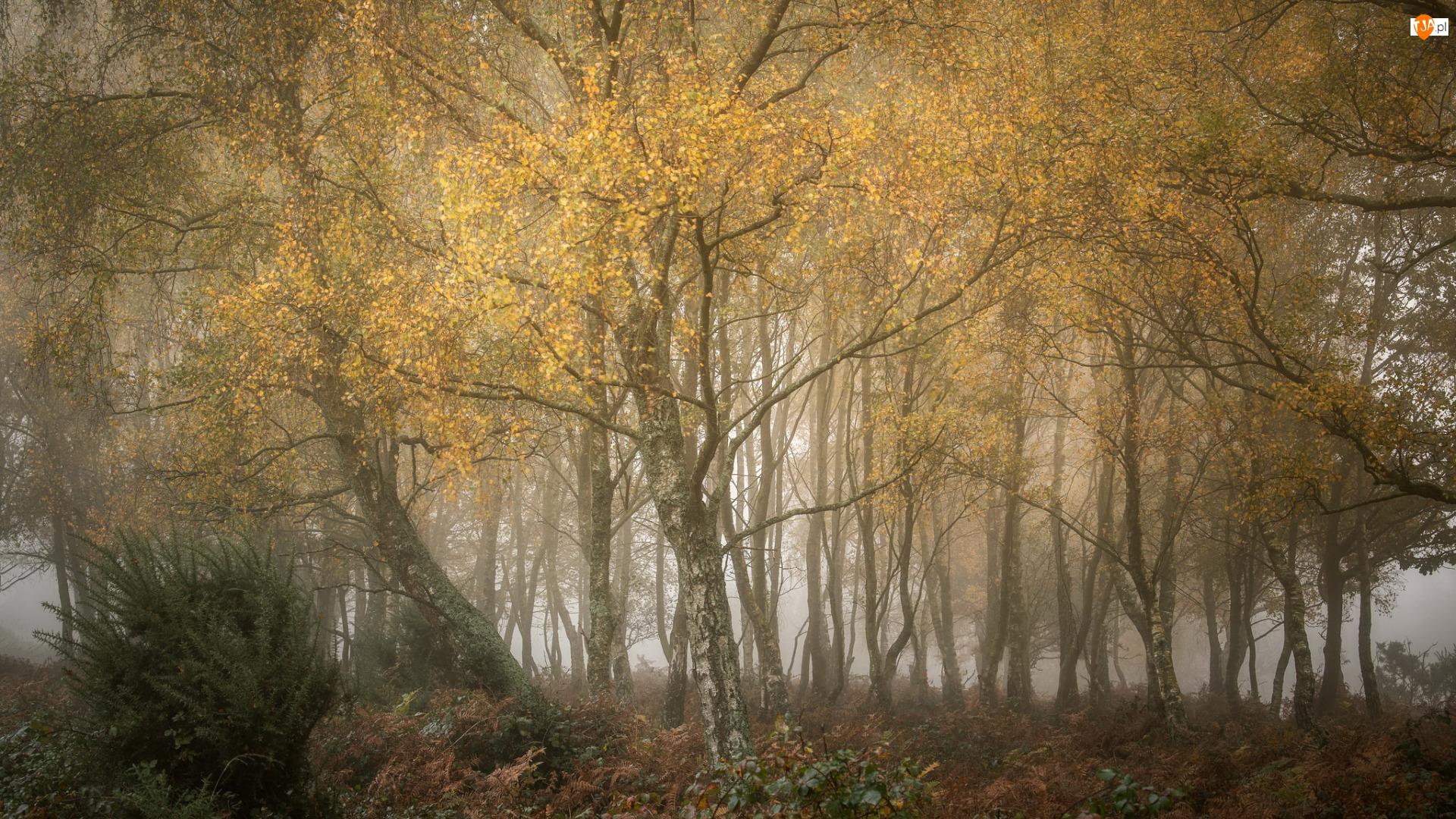 Drzewa, Mgła, Las, Jesień, Brzozy