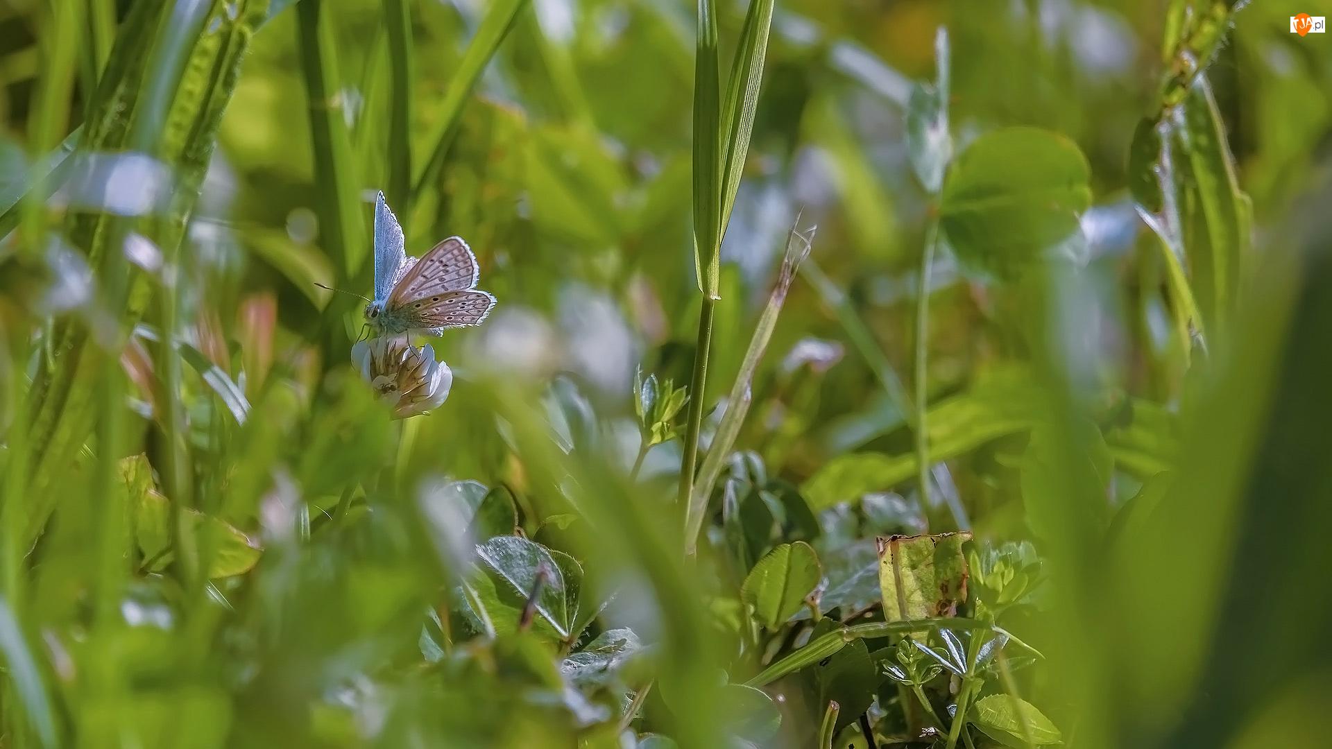 Modraszek ikar, Motyl, Koniczyna, Trawa, Kwiaty, Liście
