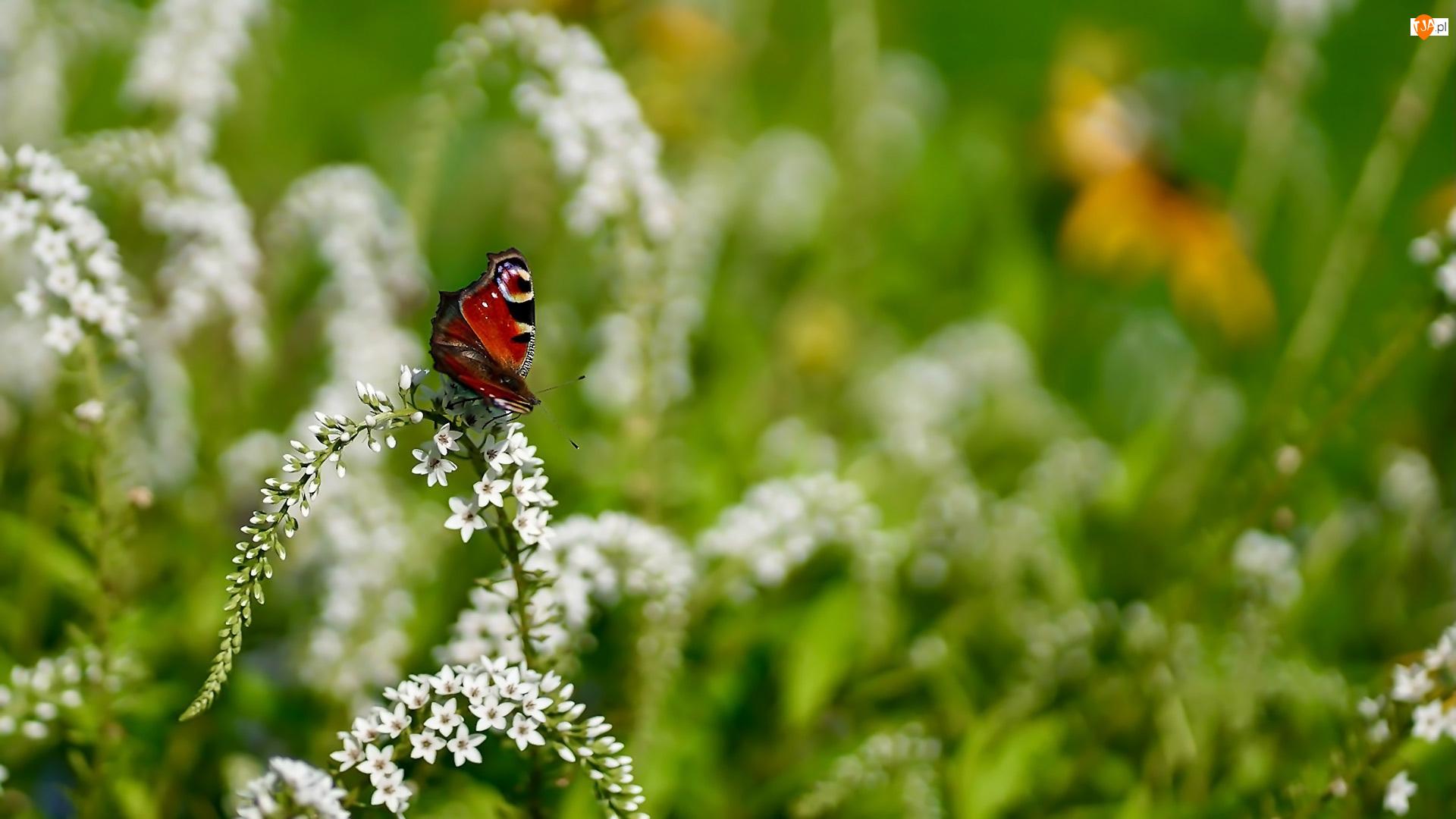 Tojeść, Motyl, Rusałka pawik, Kwiat