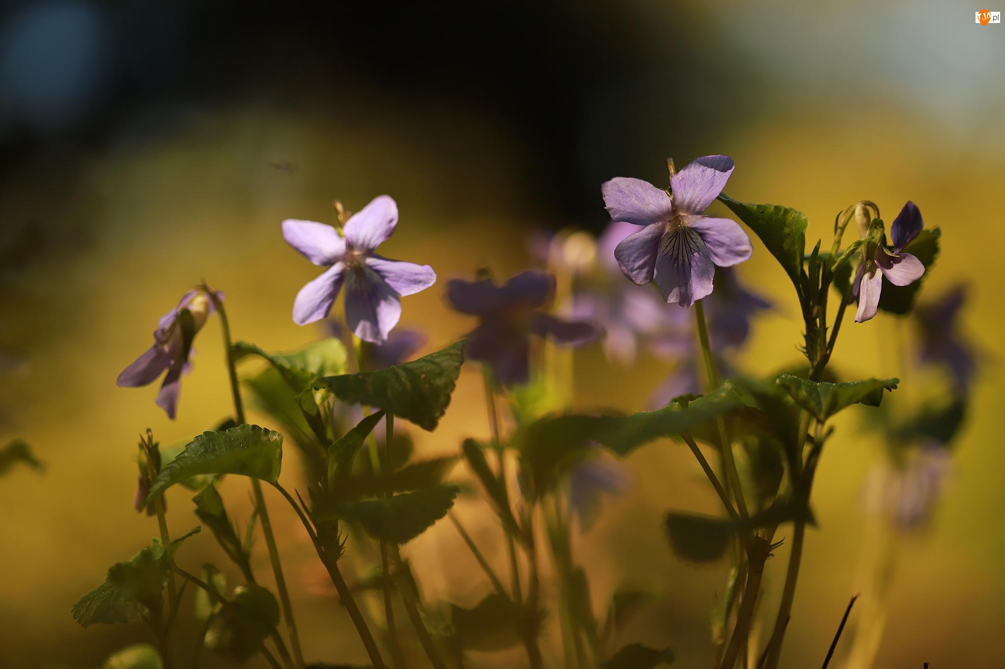 Zbliżenie, Liliowe, Fiołki wonne, Kwiaty