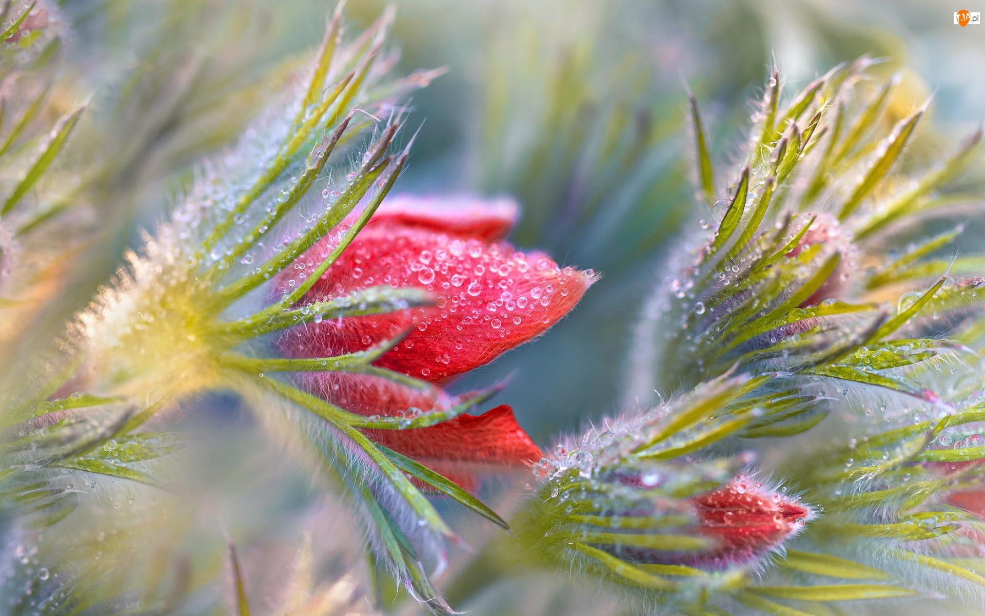 Sasanki, Pąki, Czerwone, Kwiaty, Krople