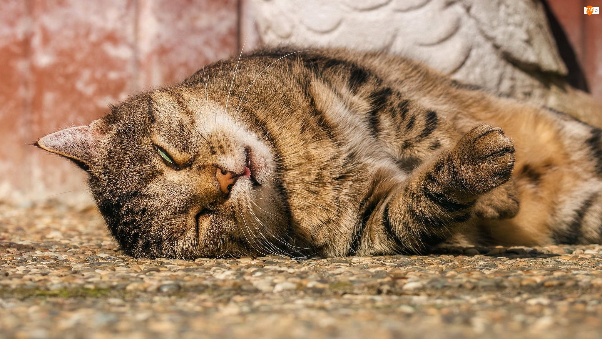 Kot, Śpiący, Szaro-bury