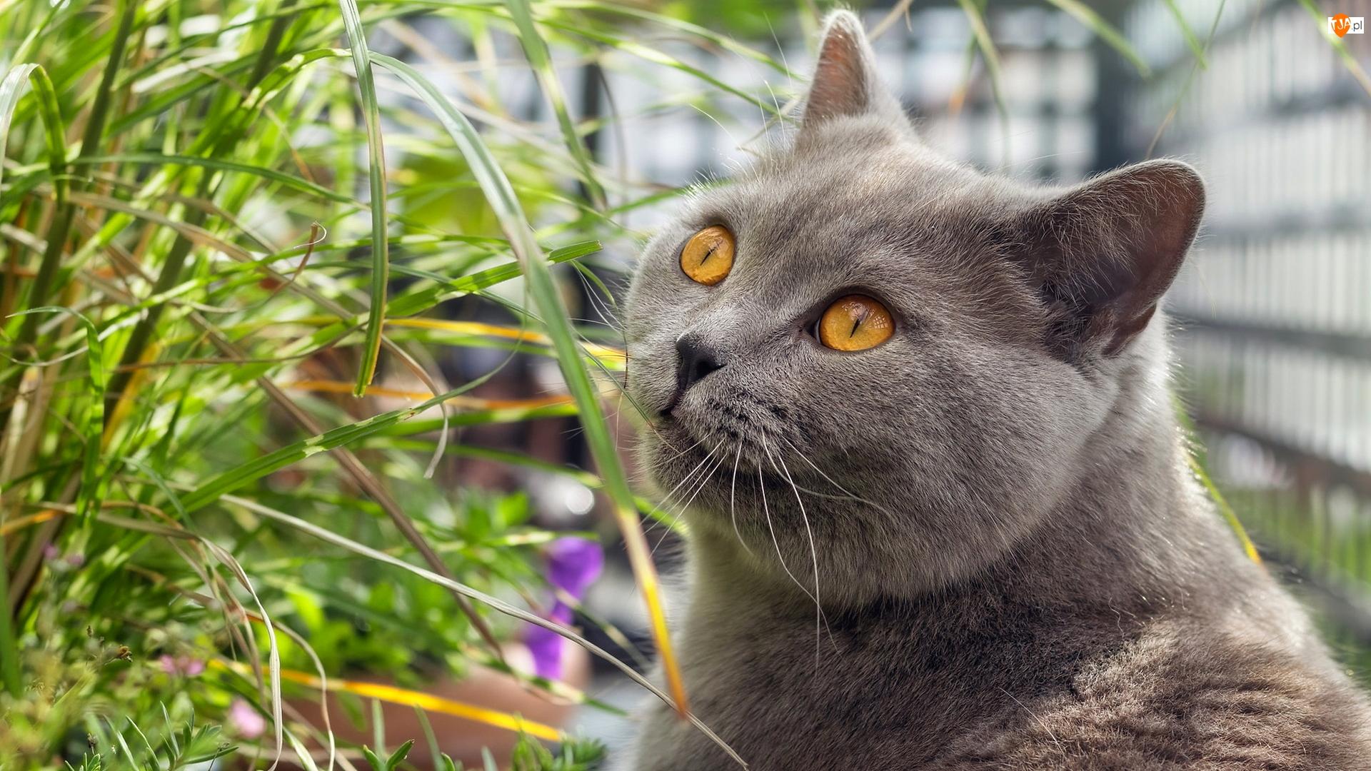 Trawa, Kot brytyjski krótkowłosy