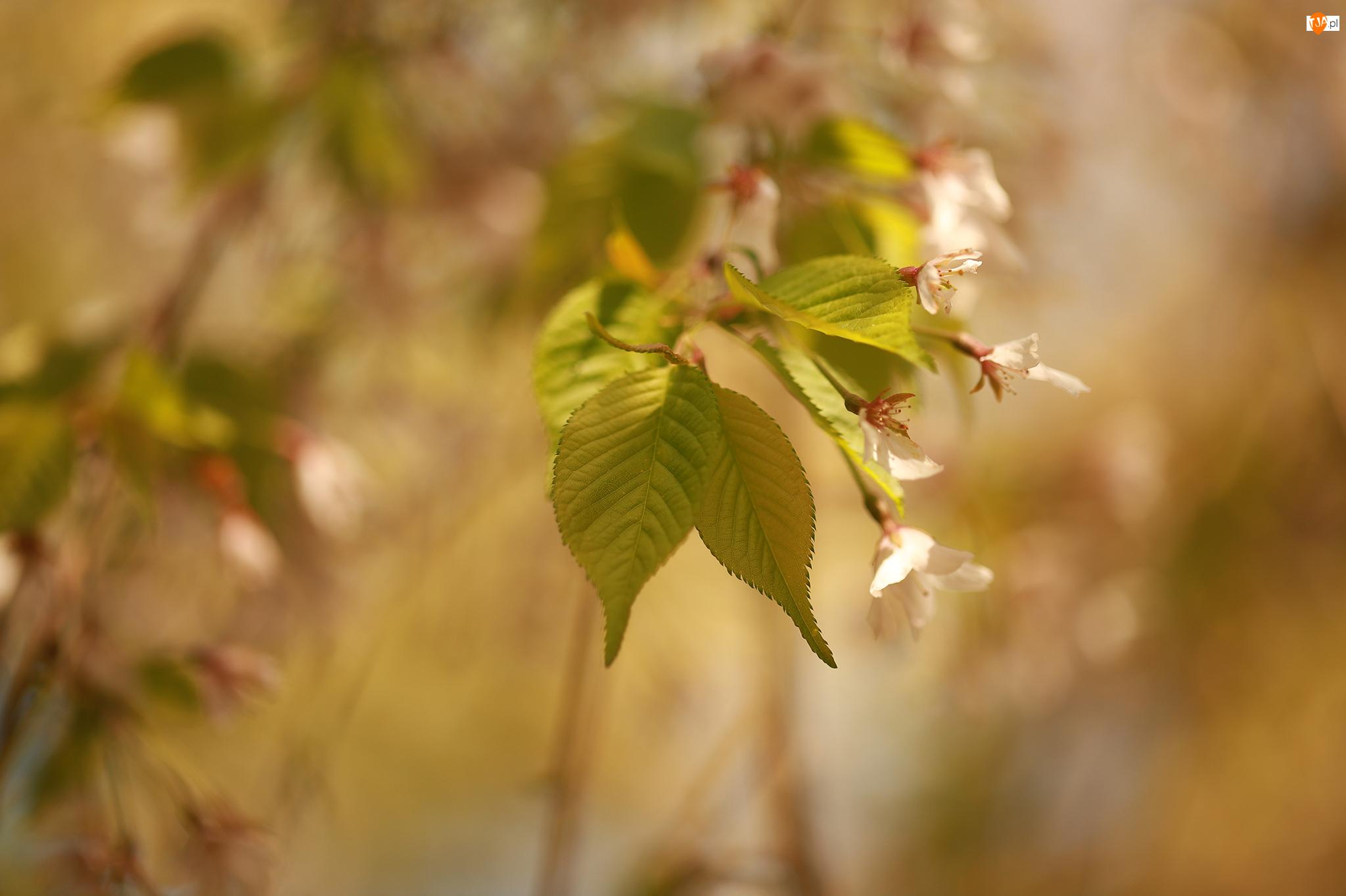 Gałązka, Zielone, Liście, Kwiaty