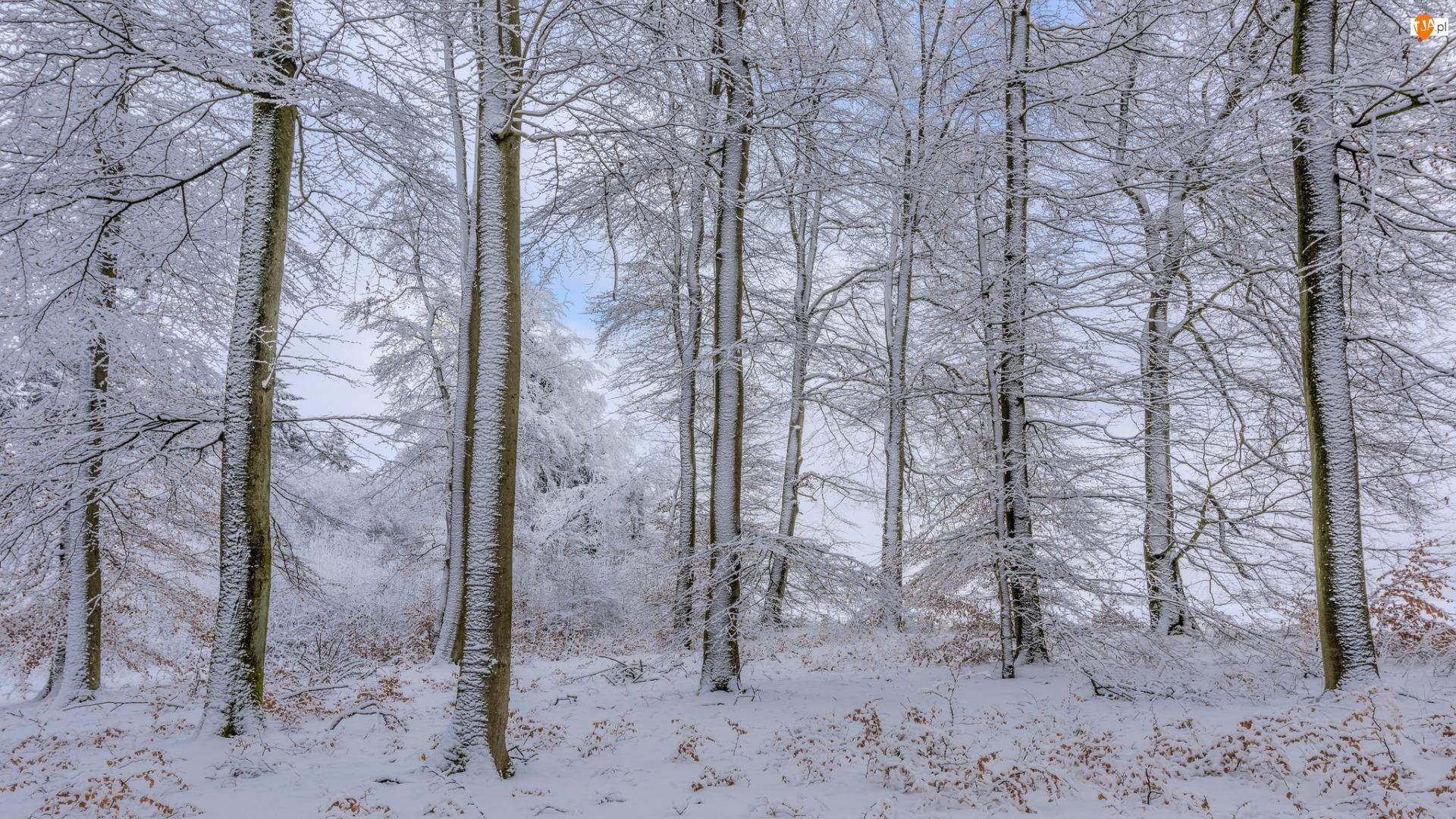 Ośnieżone, Las, Śnieg, Zima, Drzewa