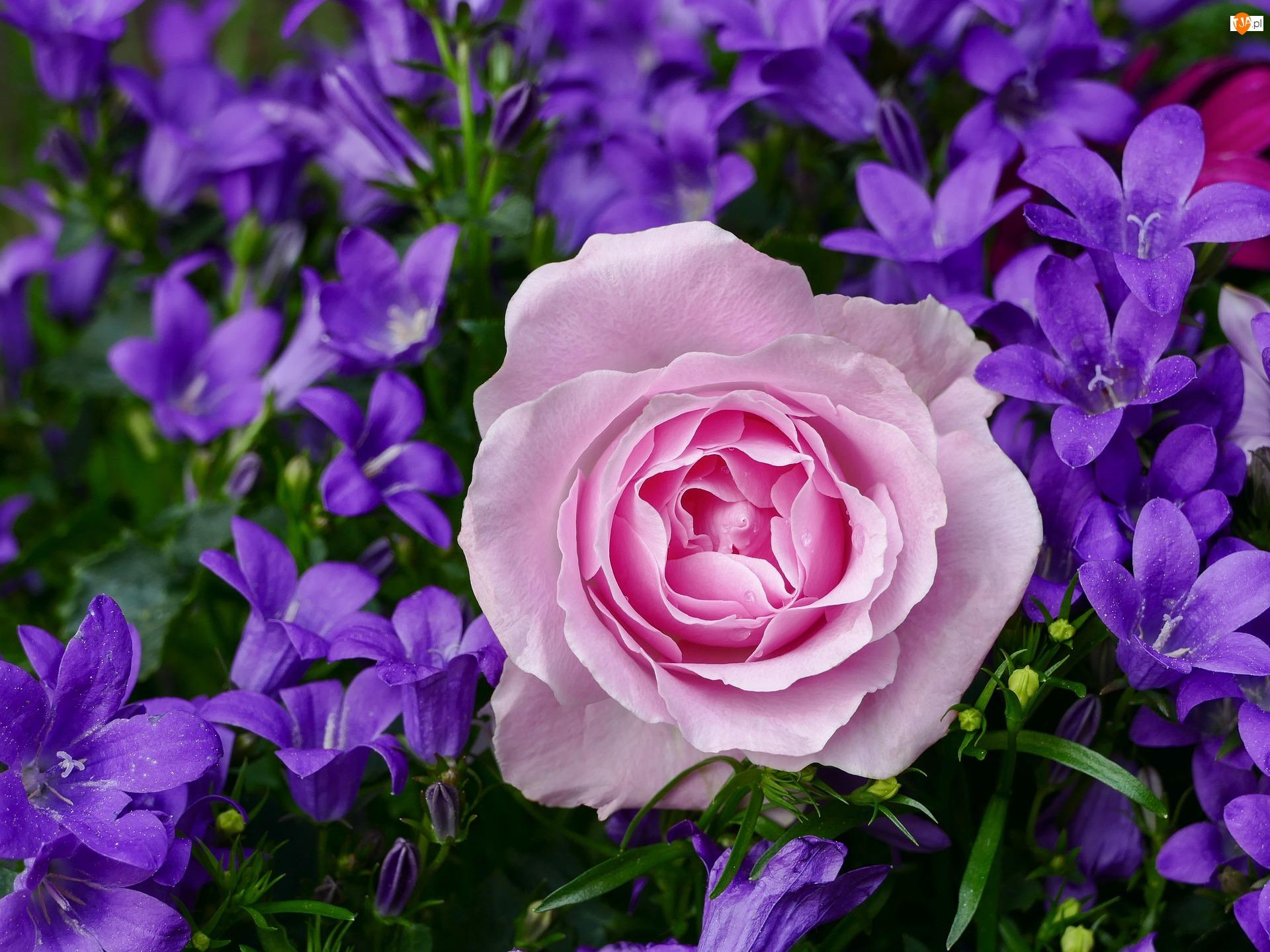 Róża, Kwiaty, Dzwonki, Różowa