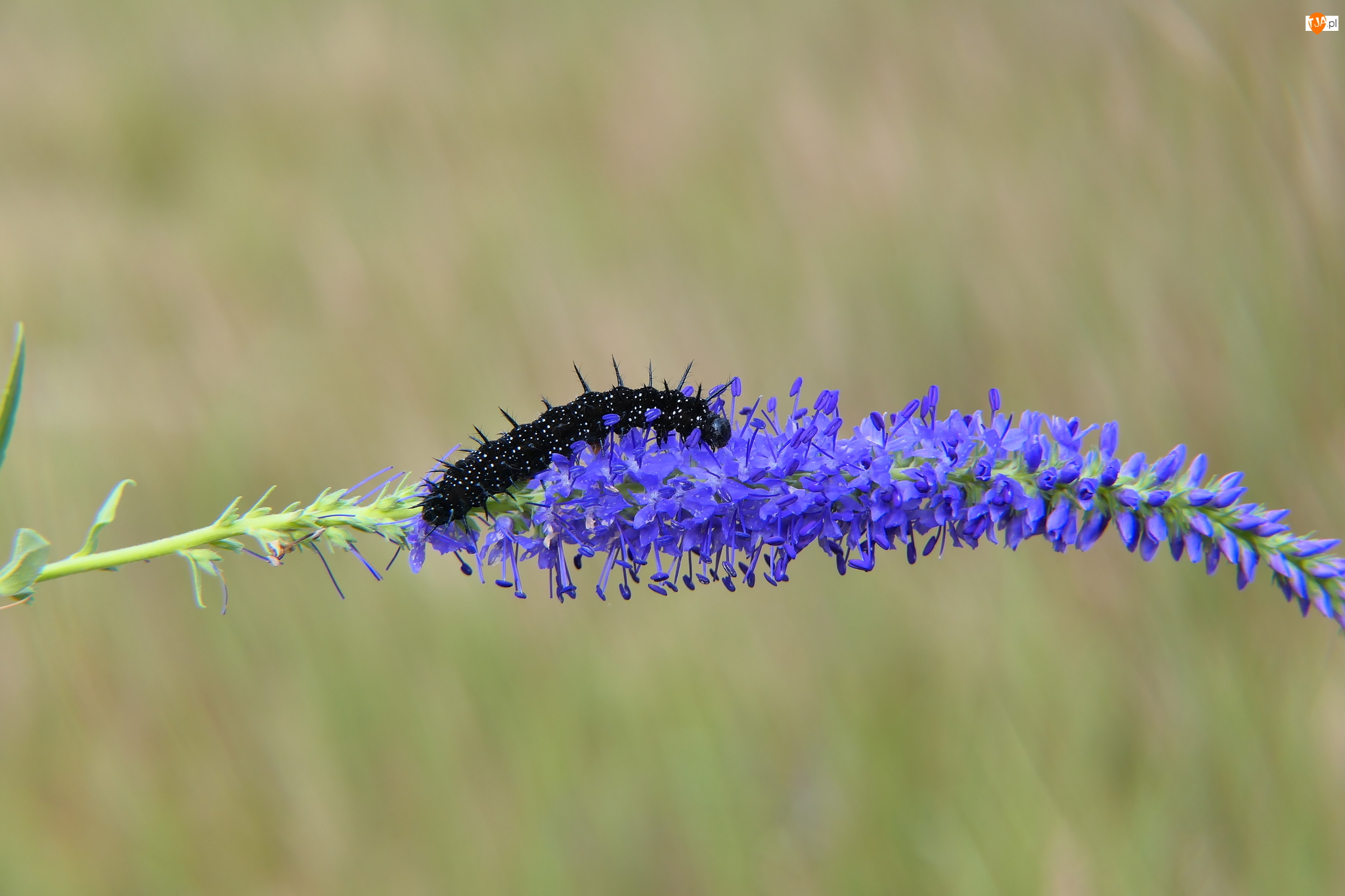 Rusałka pawik, Gąsienica, Poczwarka, Kwiat, Larwa, Niebieski