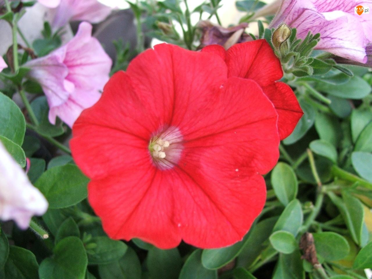 Listki, Petunia ogrodowa, Zielone