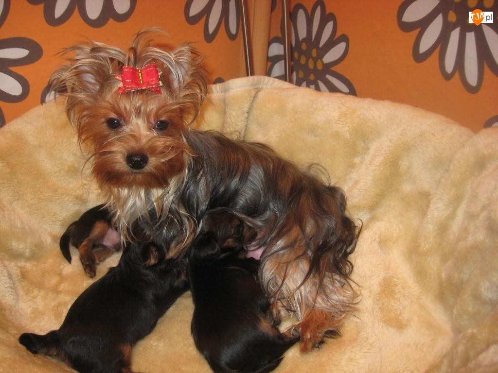 Yorkshire Terrier, karmiąca, trzy, suka, szczeniaki