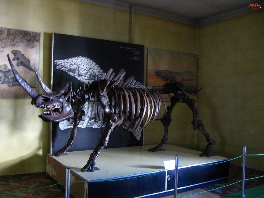 Nosorożec, szkielet