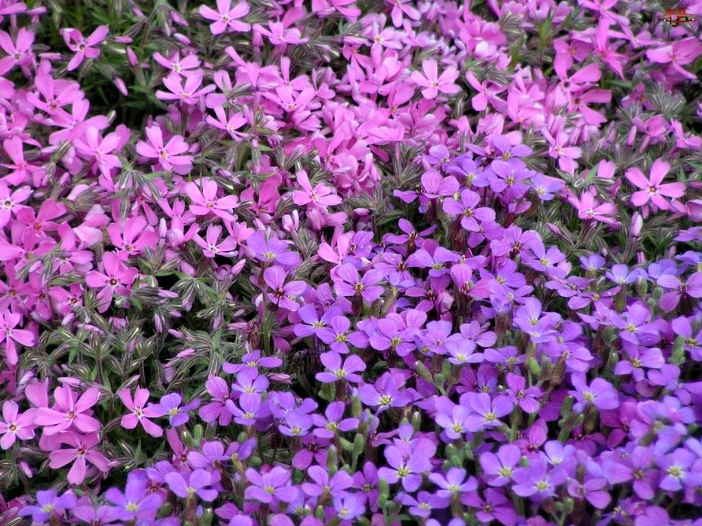 kwiatki, Żagwin ogrodowy, fioletowe
