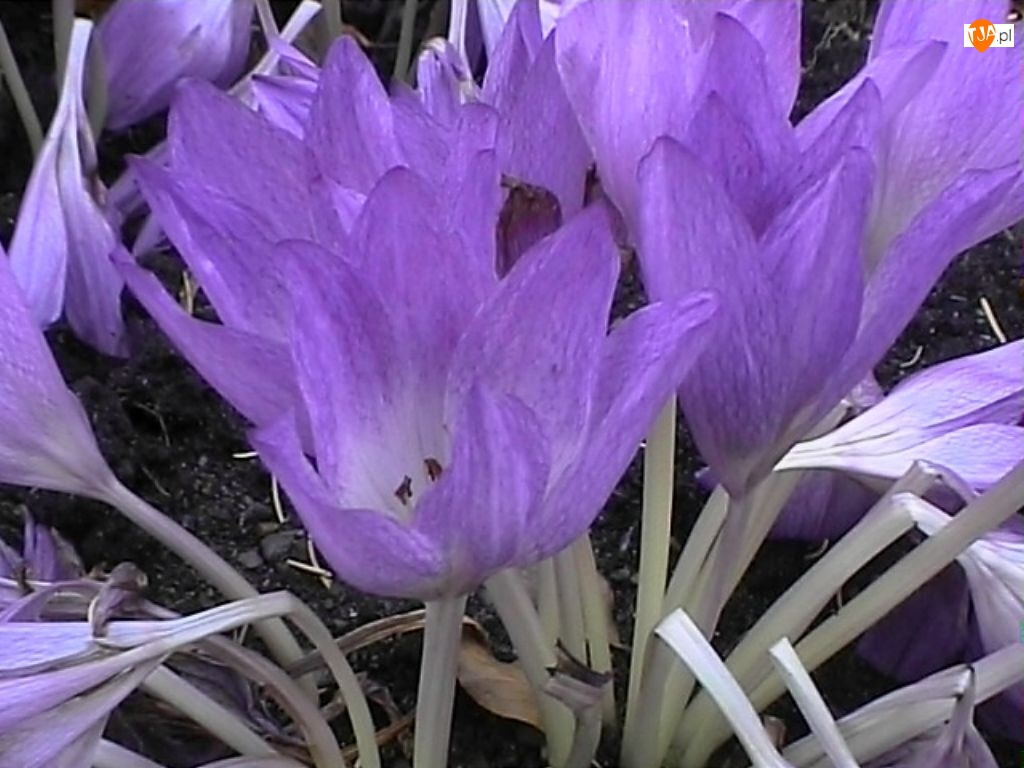 Fioletowe, Kwiaty