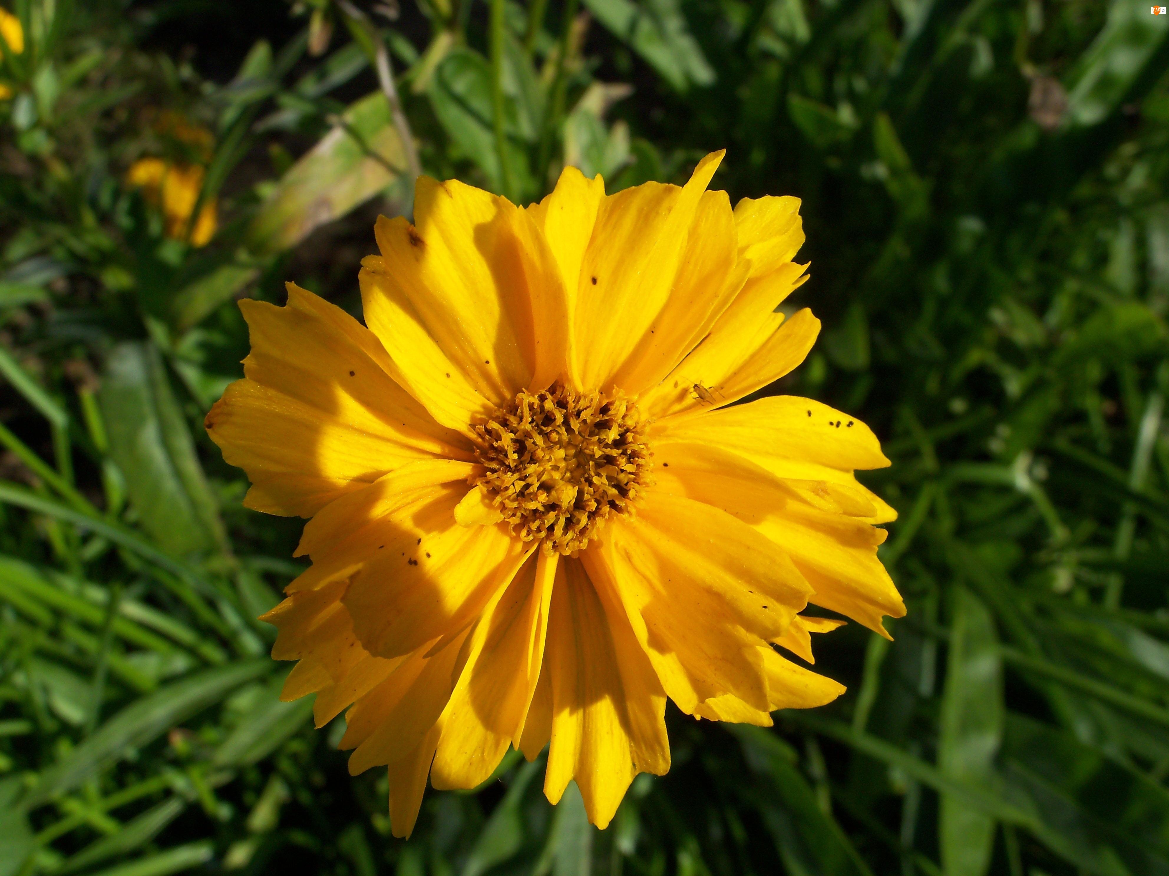 Żółty, Kwiatuszek