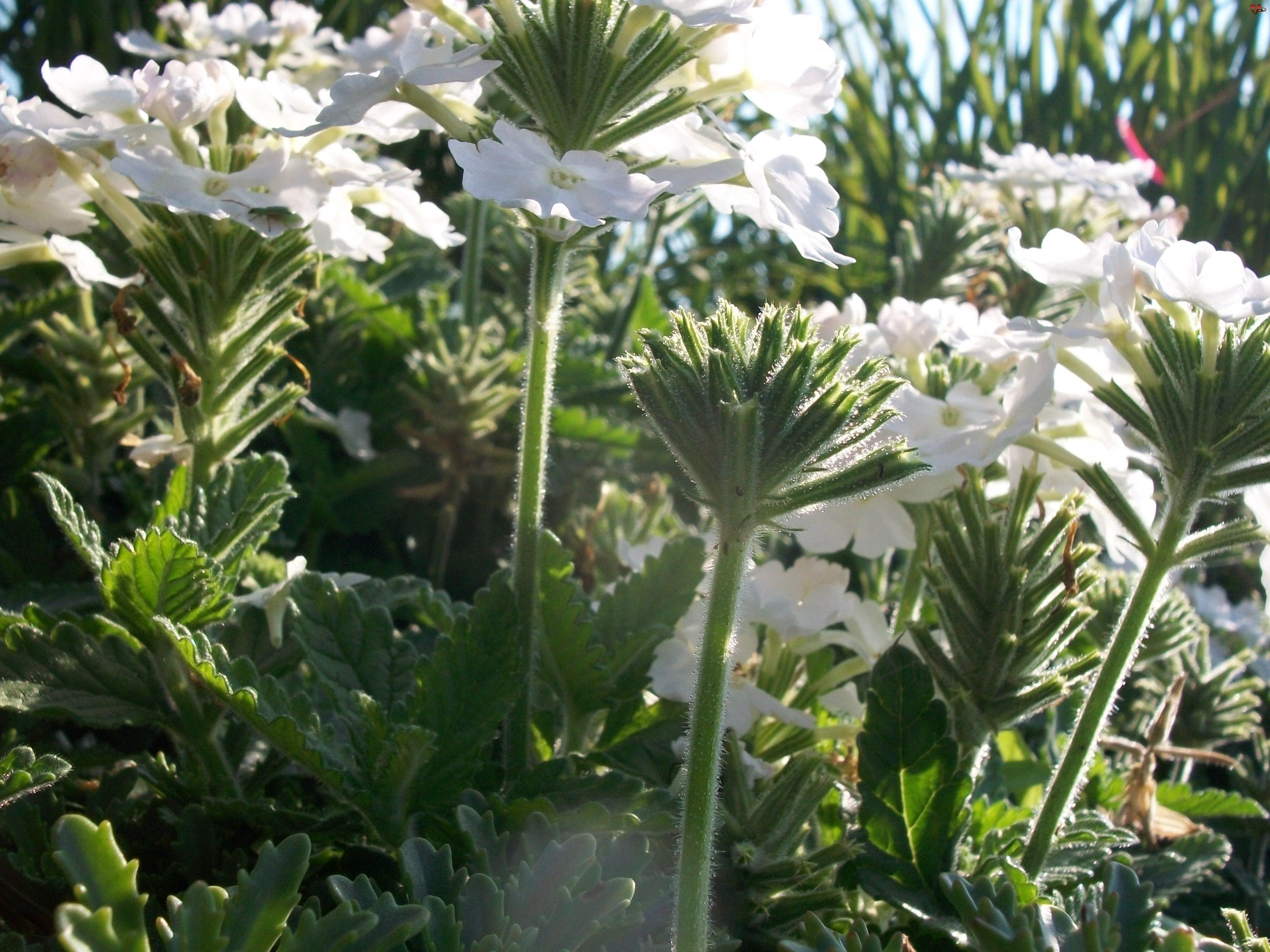 Biała, Werbena ogrodowa
