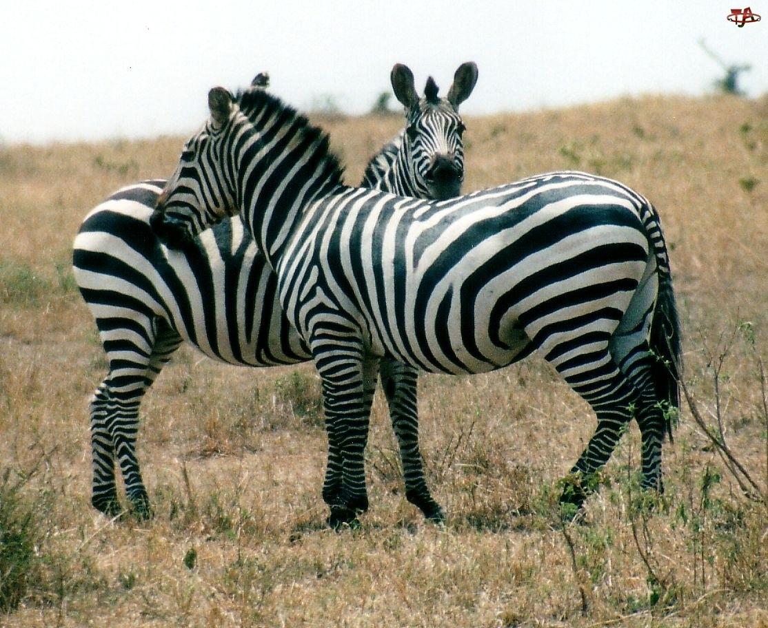Dwie, trawy, zebry, sawanna