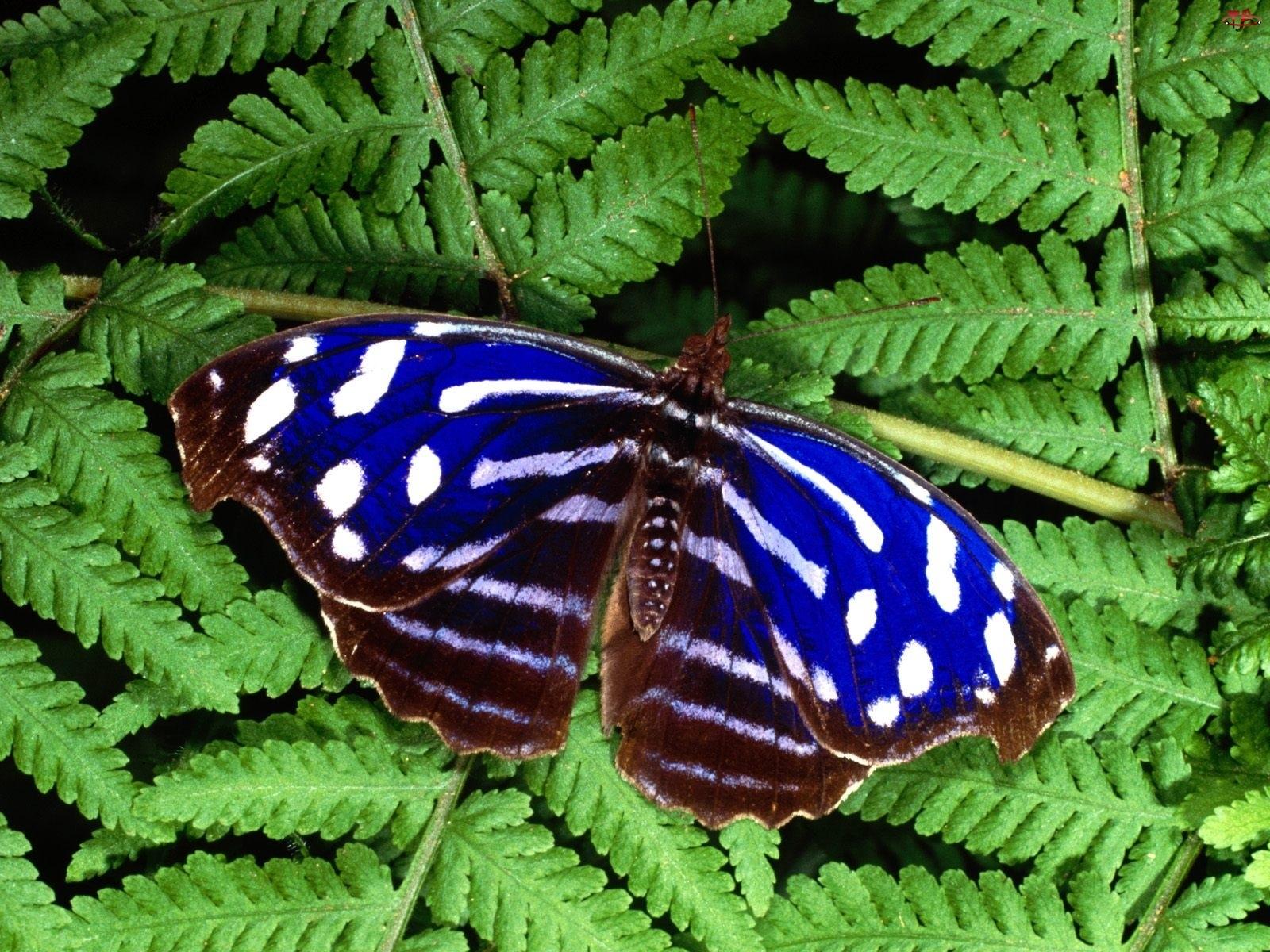 Motyl, paproć