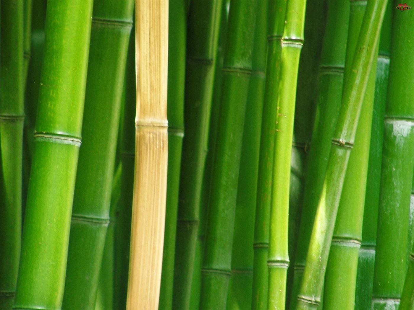 Łodygi, Bambusa