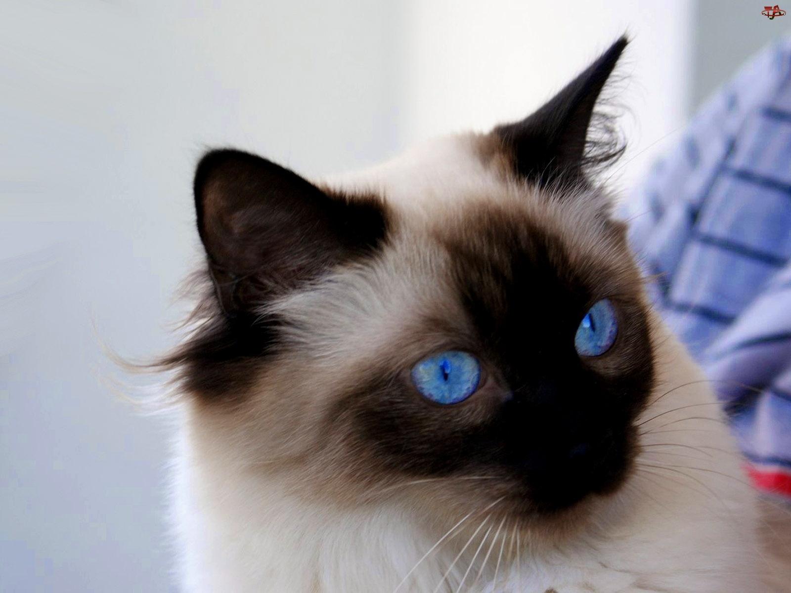 Kot, Niebieskie, Oczy