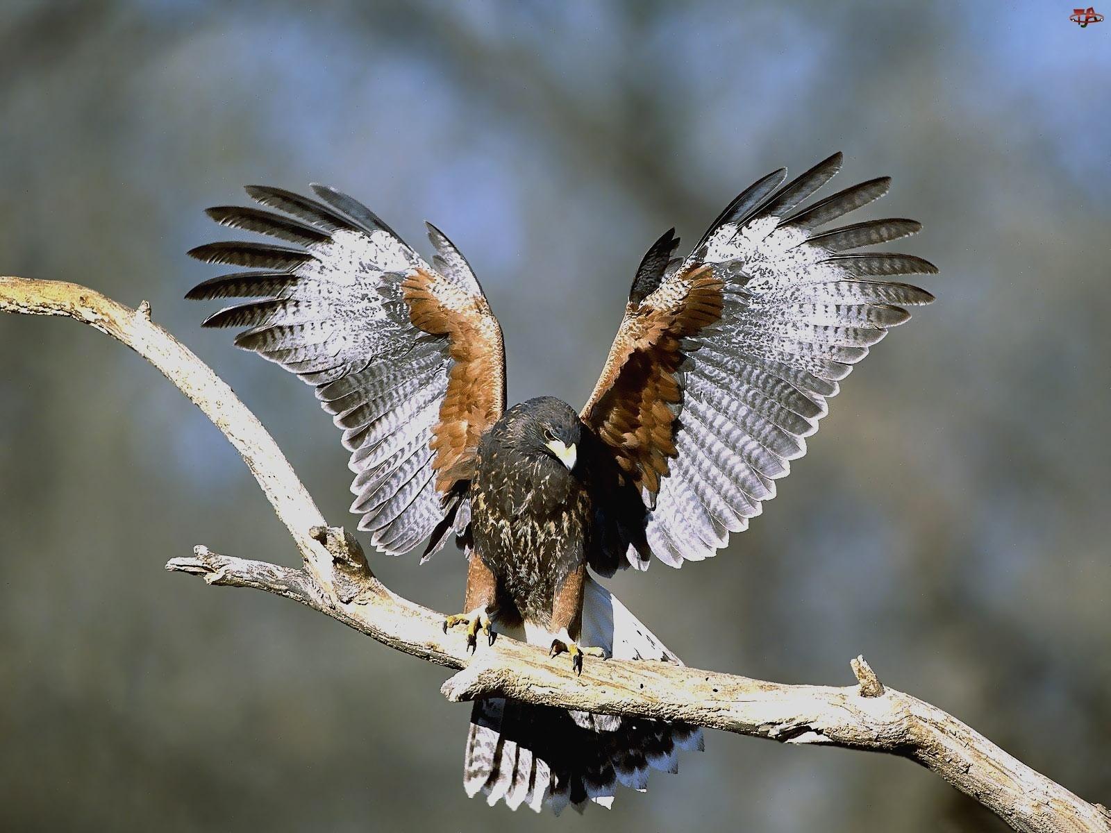 Myszołowy, Harris, Hawk