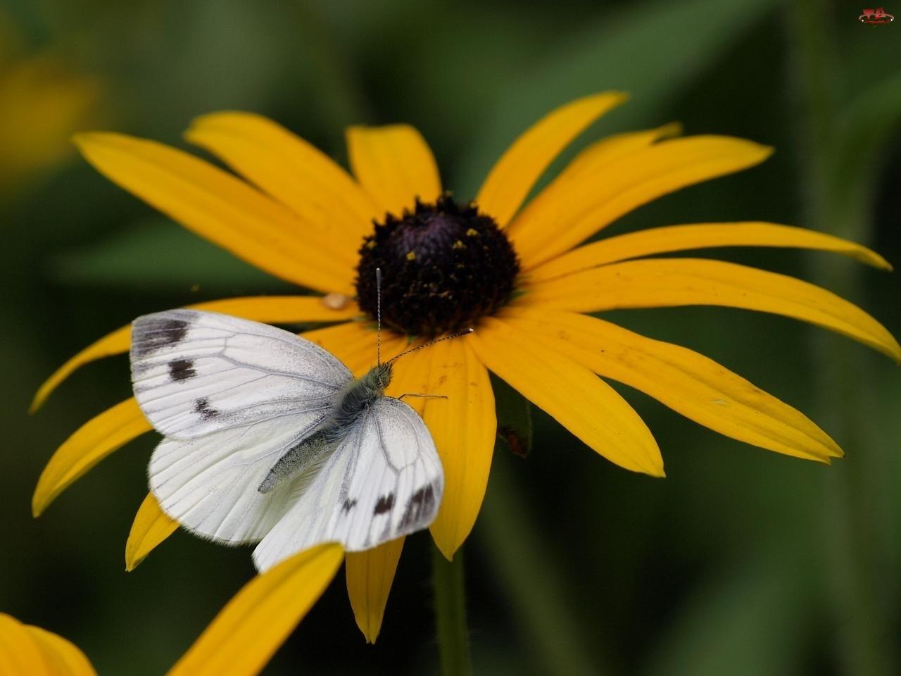 Rudbekia błyskotliwa, Motylek