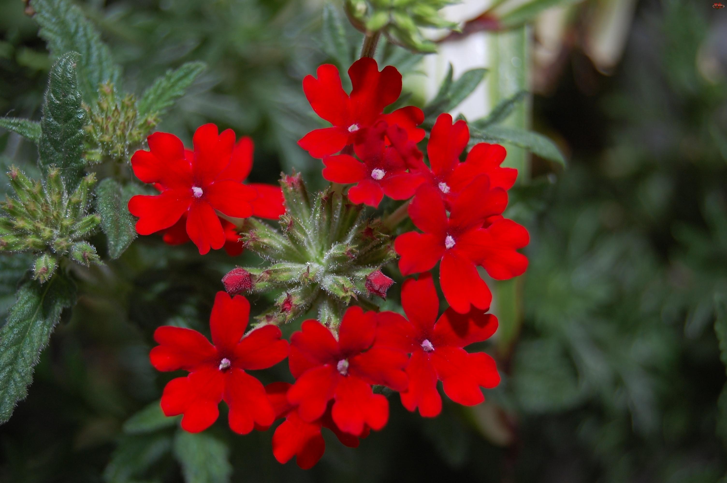 Czerwona, Werbena ogrodowa