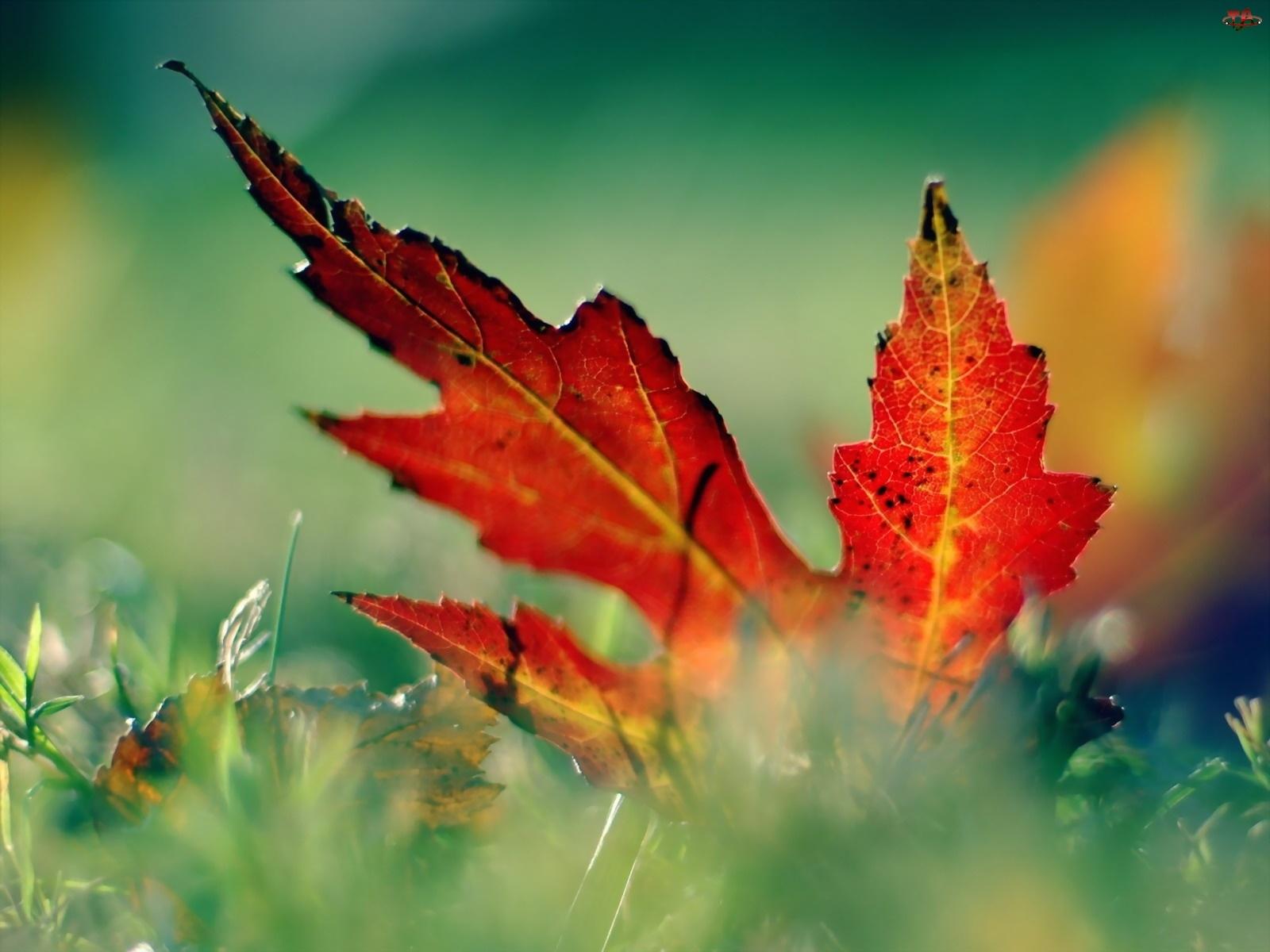 Liść, Uschły, Jesienny