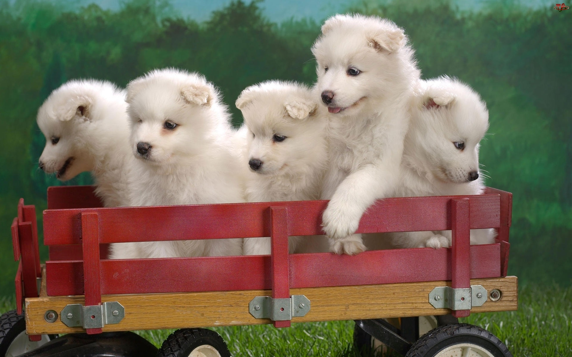 wózek, pięć, szczeniaków, słodkich, Samojed