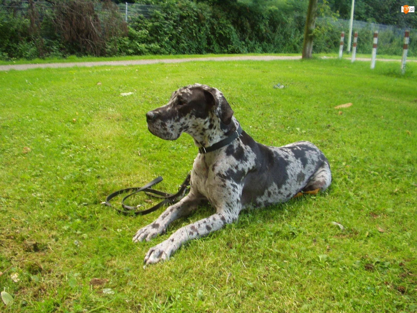 Leżący, Dog niemiecki