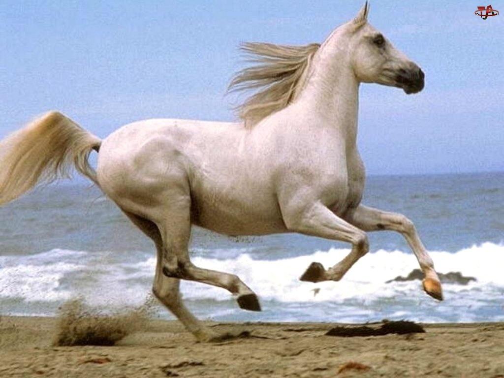 Koń, plaża, biały, morze