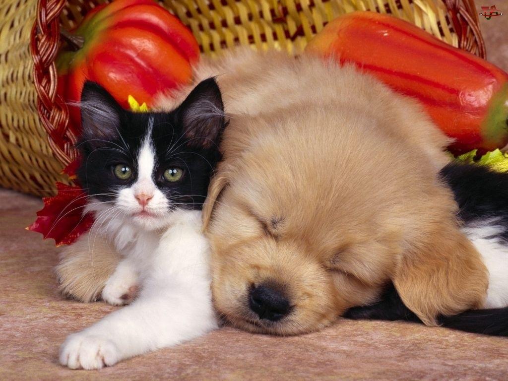 Pies, Kot