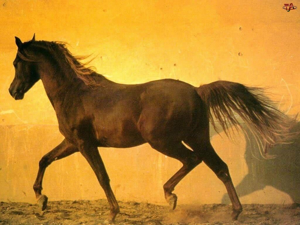 Koń, grzywa, chód, ogon