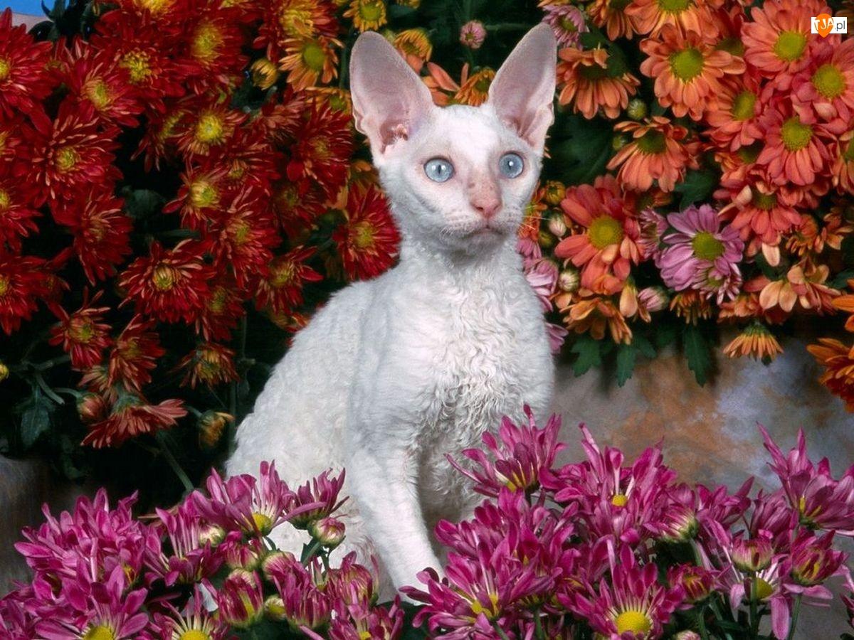 Biały, Devon Rex