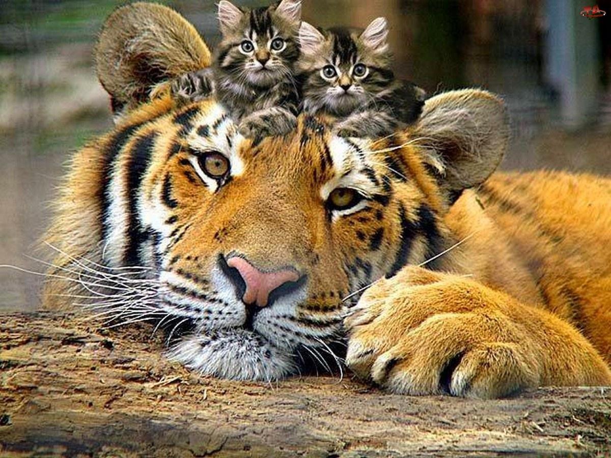 Kiciusie, Tygrys