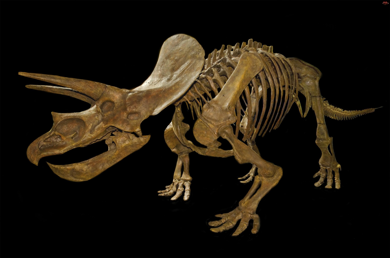 Szkielet, Triceratops