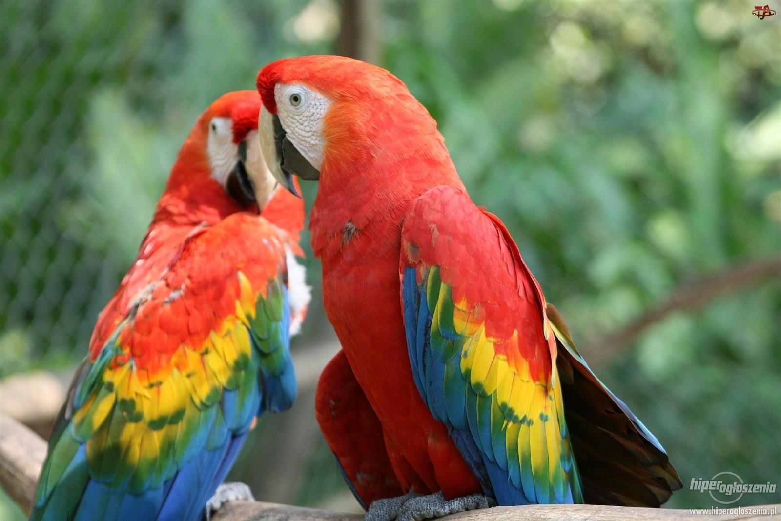 Papugi, Dwie, Kolorowe