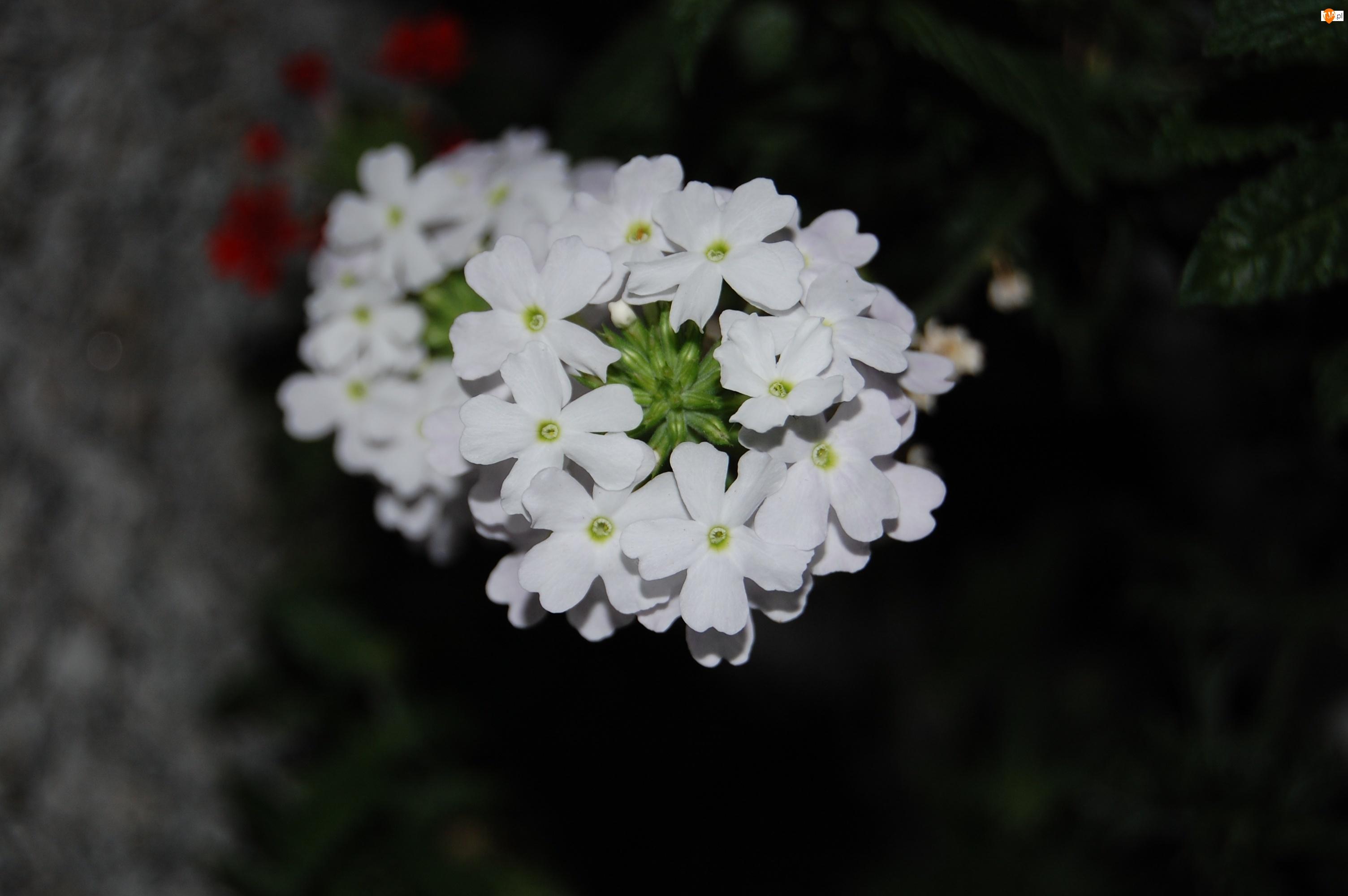 Werbena ogrodowa