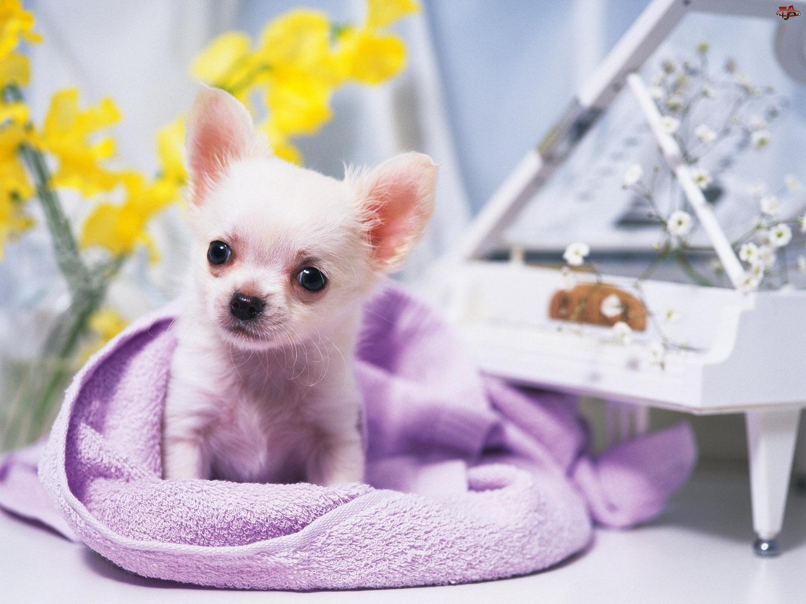 słodziak, Chihuahua, malutki, piesek