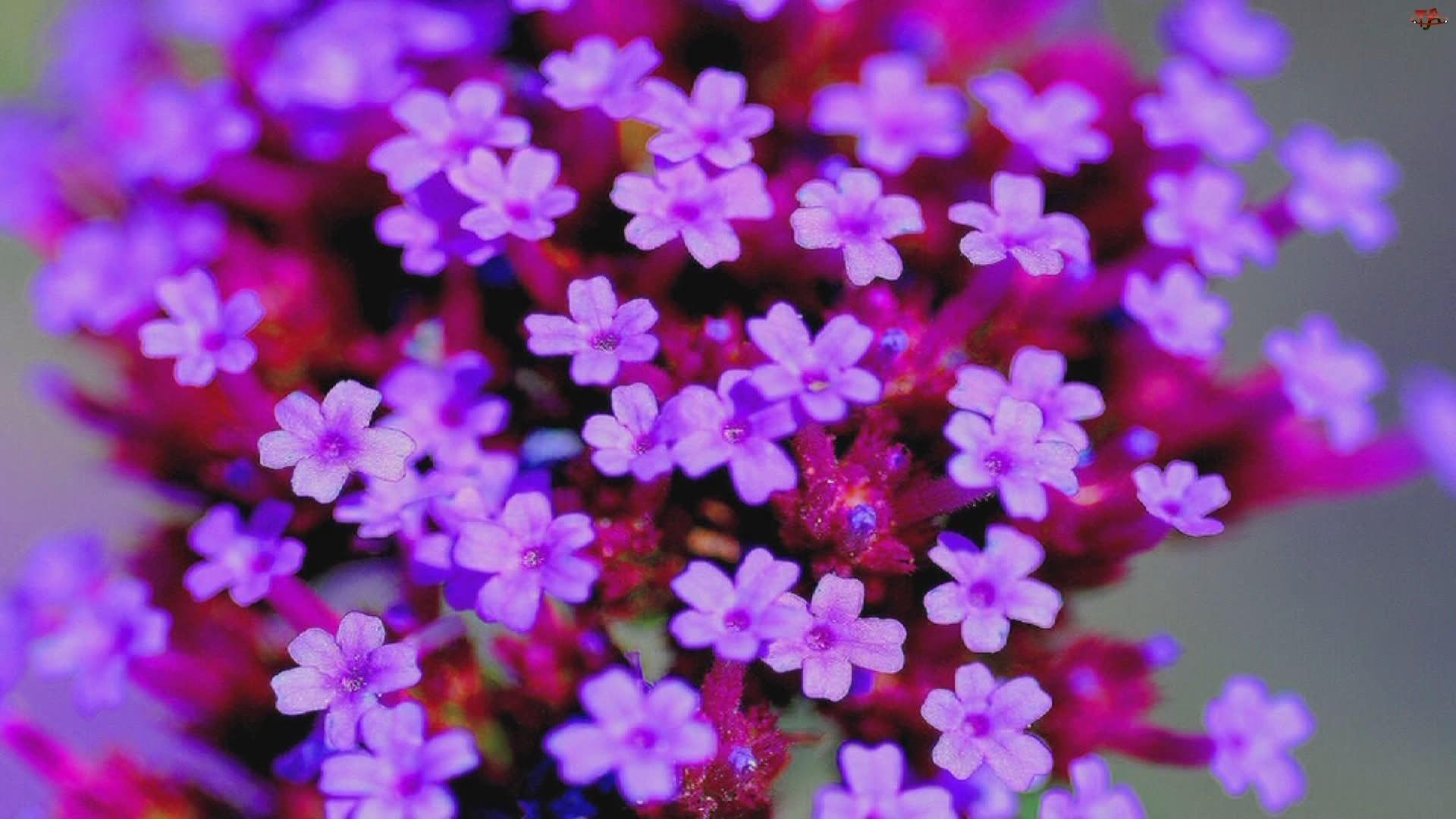 Kwiatki, Werbena ogrodowa, Drobne