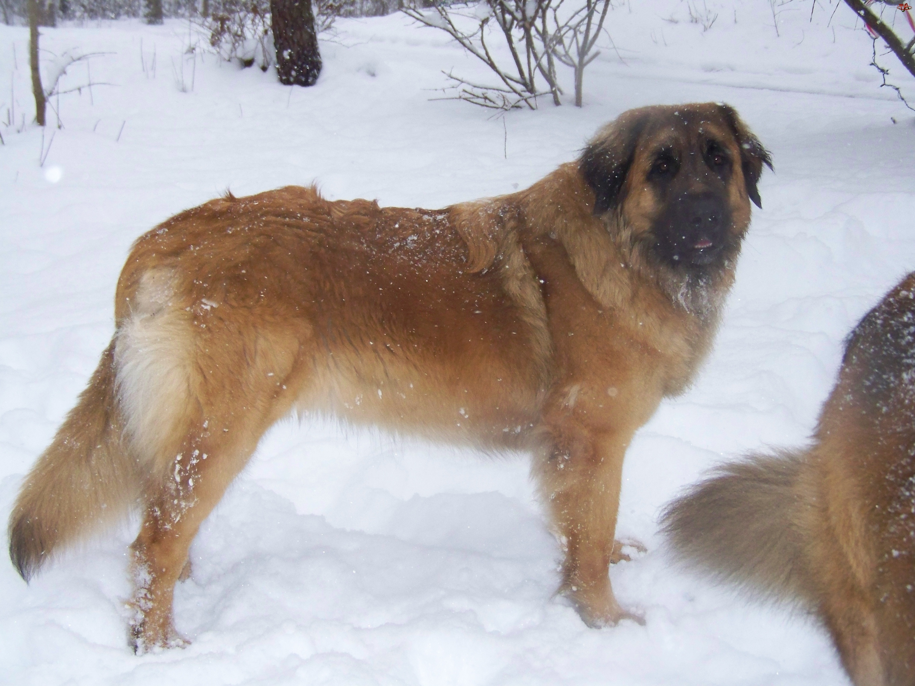 Leonberger, śnieg