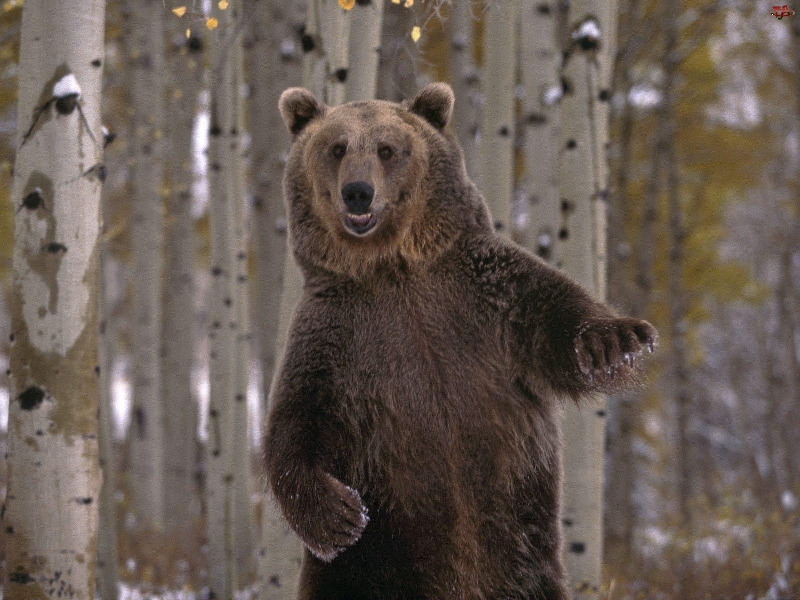 brzozy, Niedźwiedź, brunatny