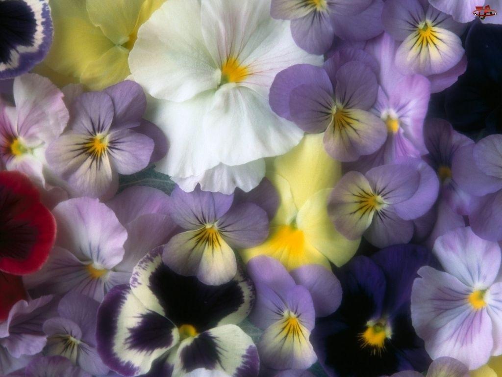 Bratki, Kwiaty