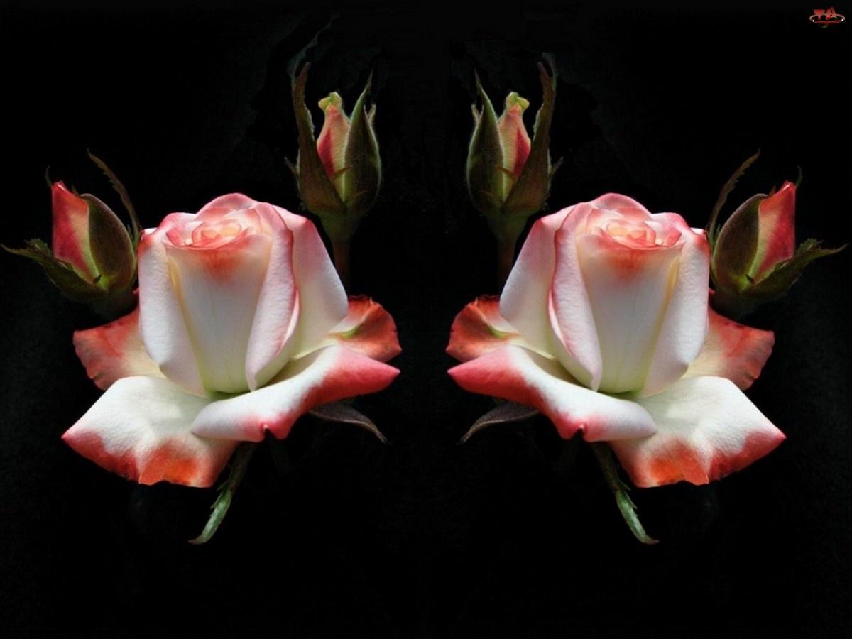 Biało, Pąki, Różowe, Róże